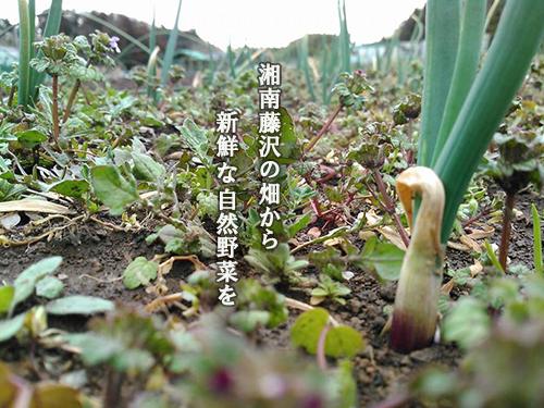 湘南藤沢の畑から新鮮な自然野菜を・みんなが心地よい自然の循環